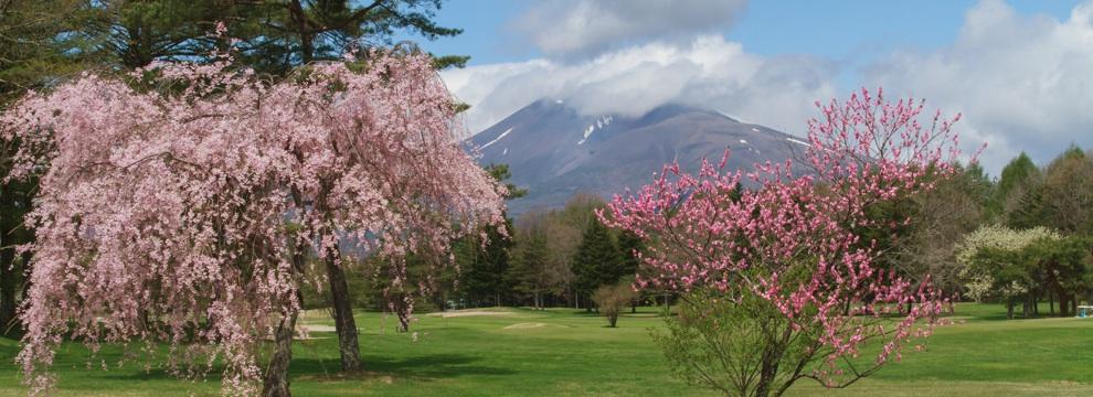 軽井沢の桜 1