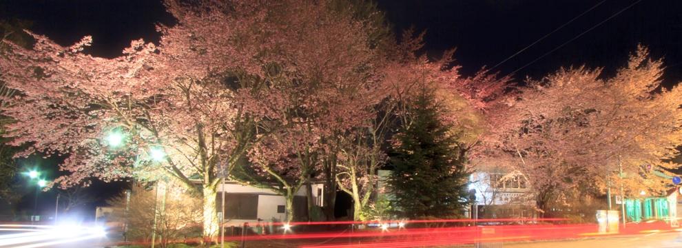 軽井沢の桜 4